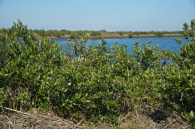 Louisiana wetlands, mangrove project
