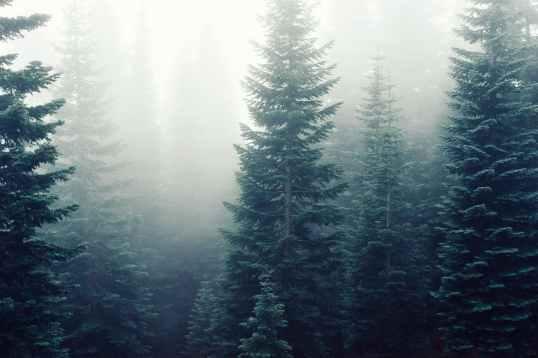 forest trees fog foggy