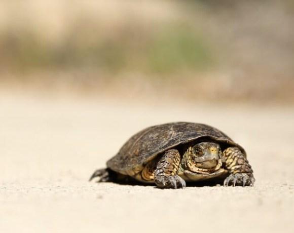 Tortoise crawling across a desert