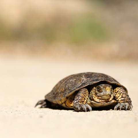 A tortoise crawling across a desert