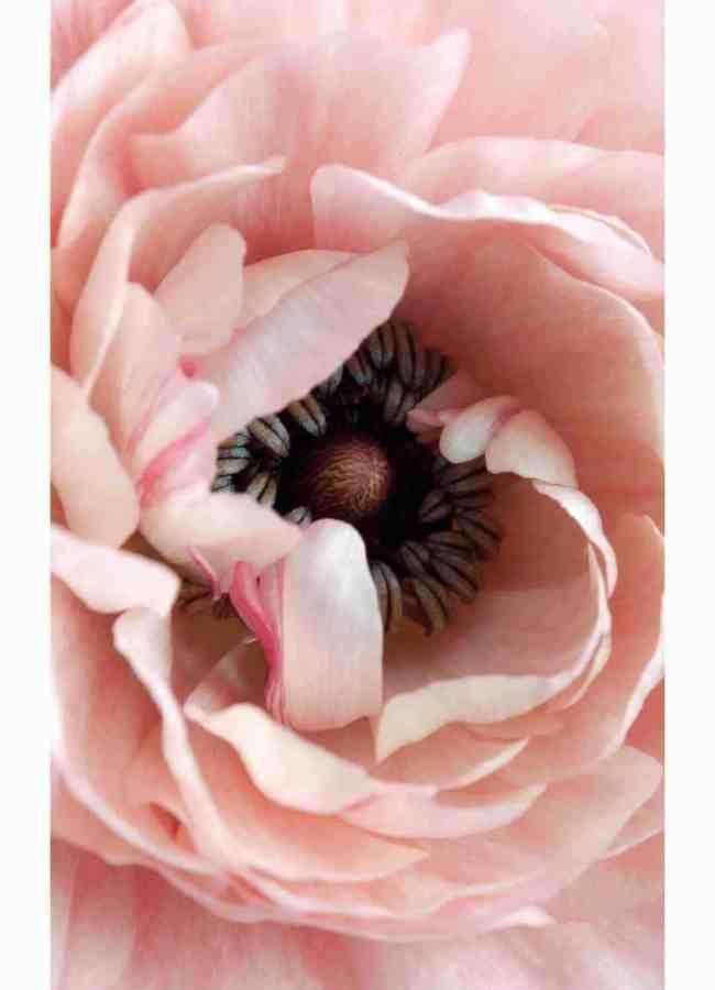 Pink Rose up close