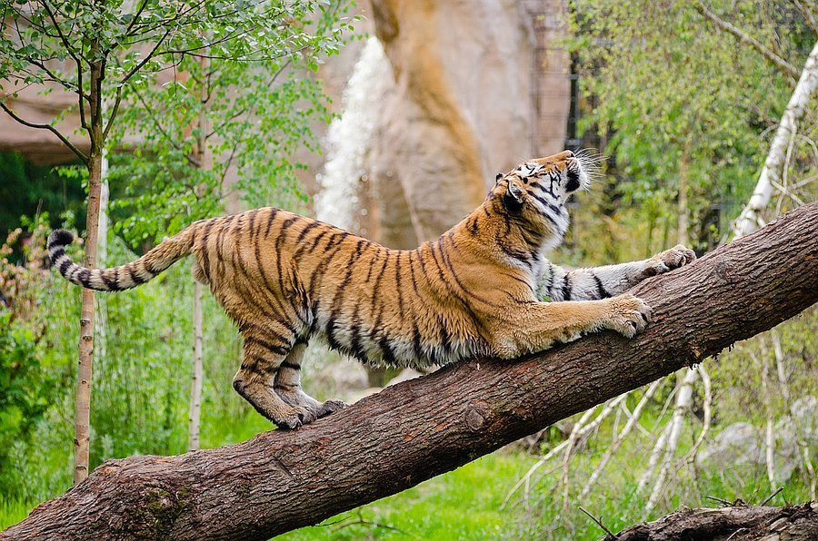 Tiger Law stretching-tiger TOFT: How our tigers are doing! About Tiger Tiger News