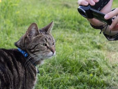Tiger - en katt med vana framför kameran