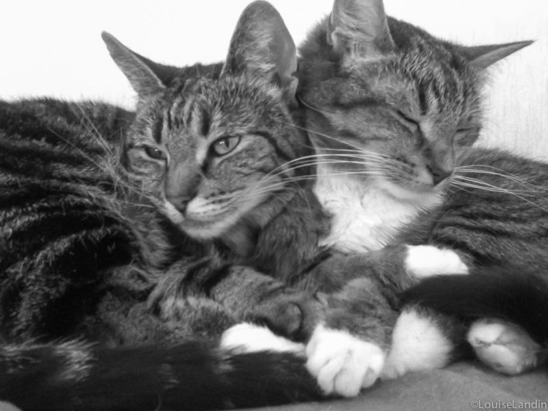 Tillsammans - Adopterade katterna Tiger och Milou