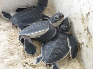 Baby green turtles Tioman island Juara Project