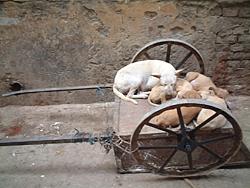 varanashi_dogs