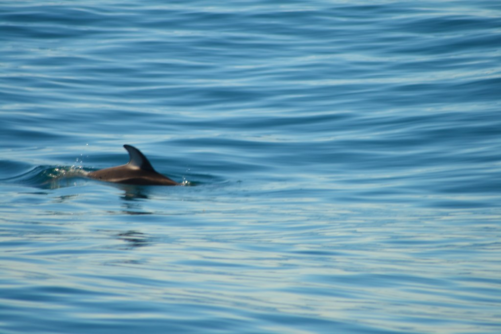 USA West Coast Road Trip - Dolphins in San Diego Bay