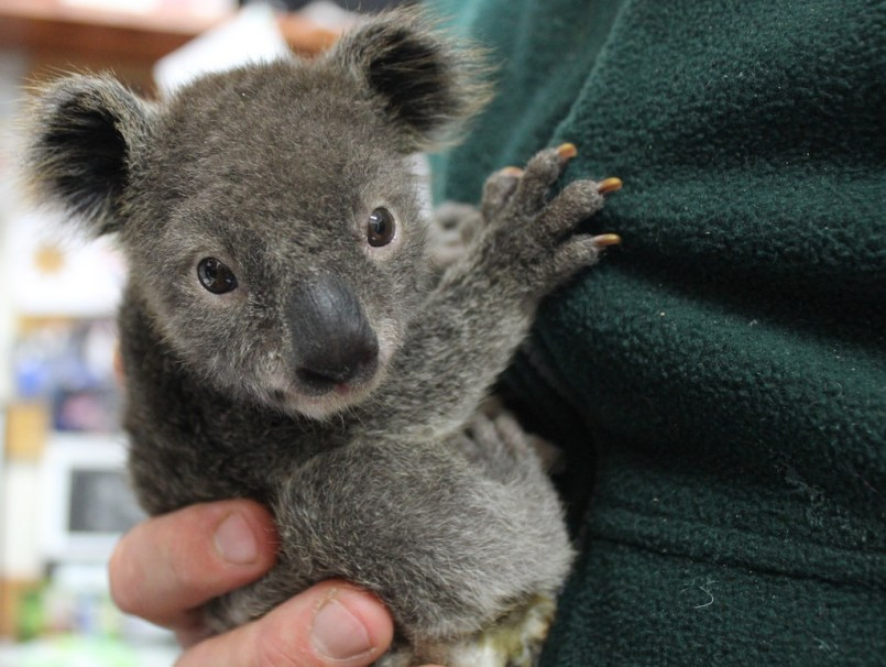 things to do in Sydney - Koala