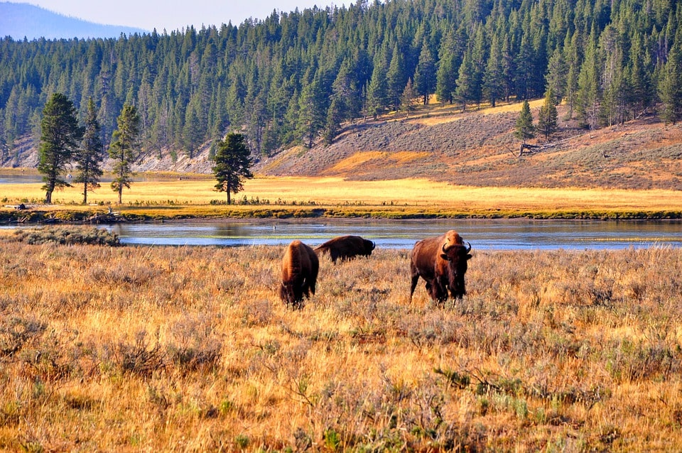 Yellowstone Itinerary 4 days bison