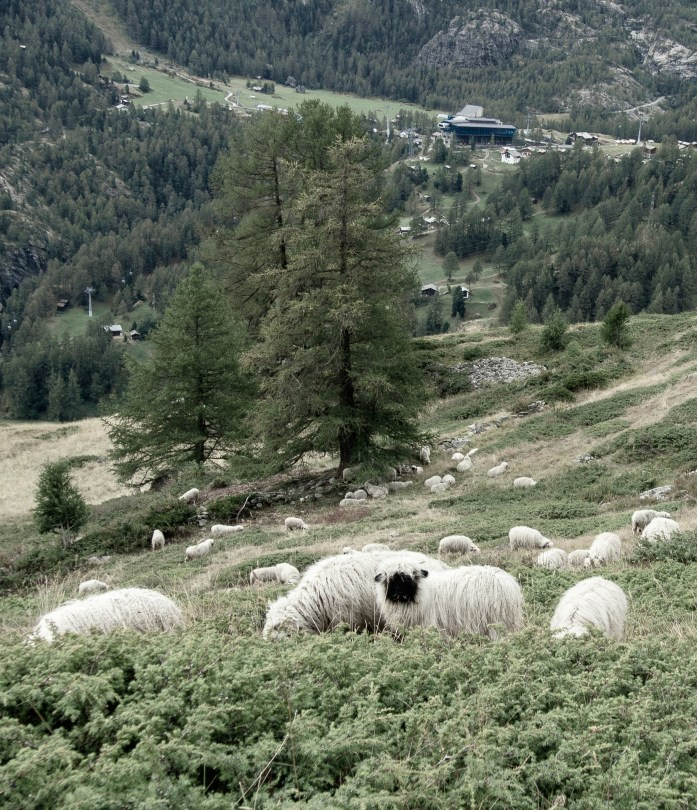 Zermatt Sheep