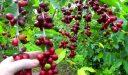 ما هي الظروف المناسبة لزراعة القهوة