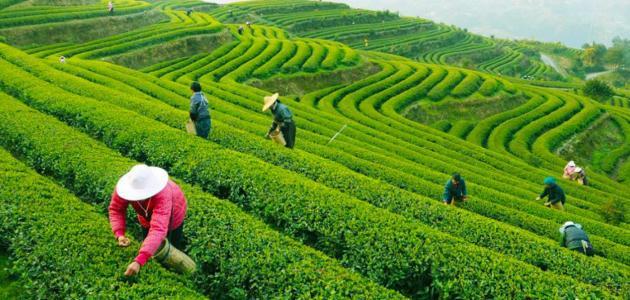ما هي الدول المنتجة للشاي عالمياً