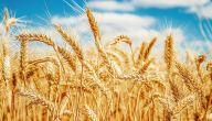 ما هي الدول المنتجة للقمح