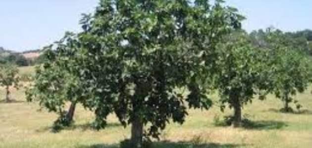طريقة زراعة التين ومواسم زراعته وفوائد التين الصحية