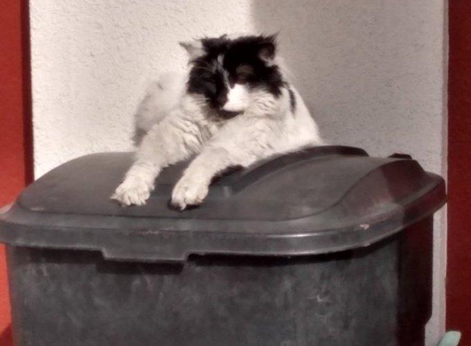 Se acerca el día mundial del gato e instan a cuidar su salud