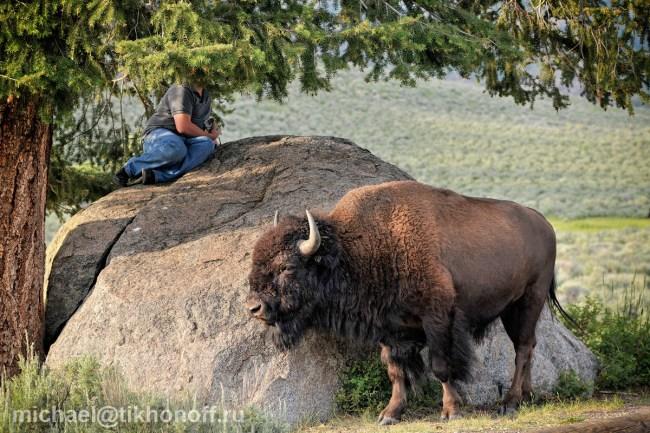 Yellowstone Lamar Valley Bison