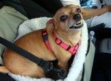 """And then at the end of a super great day the humiliating ride home in The Lady's idiotic """"doggie basket"""" OMG! Grrrr!"""