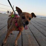 Intrepid Chihuahua, Tiki Zucman, struts down the Laguna Beach, Main Beach, Boardwalk, July 6th, 2014.