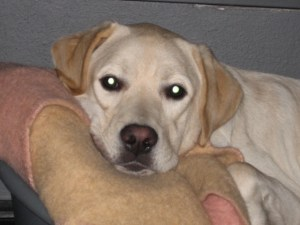 Zeer blonde labrador pup, Umbar, ligt in zijn mandje bij zijn tweede pleeggezin.