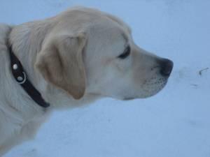 Zeer blonde labrador, Umbar, als pup bij zijn tweede pleeggezin. Foto is van opzij genomen.