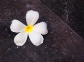 En fallen blomma mitt på gatan i Bangkok