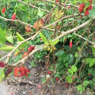 raspberry-fila-naranjo