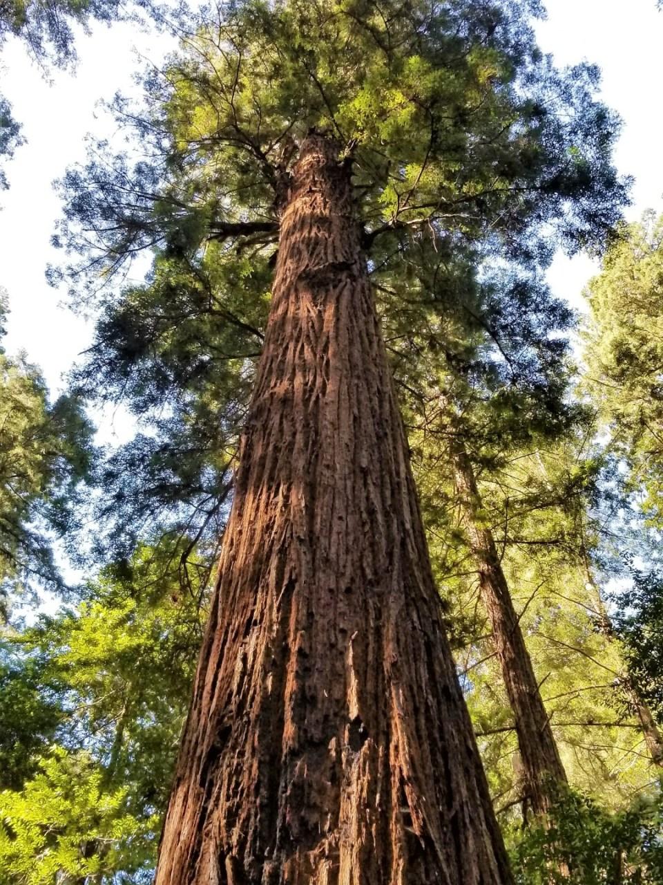 Glorious Redwood Tree