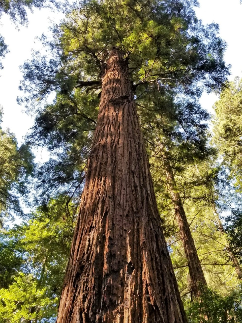 Glorious Redwood Tree