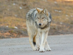 A wolf standing on a road looking at something off-camera.