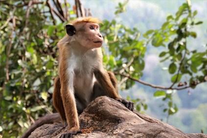 Affen ebenso