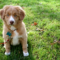 I Love Lucy: A Nova Scotia Duck Tolling Retriever Tale (Tail?)