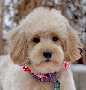 Goldendoodle Haircuts & Goldendoodle Grooming - Timberidge