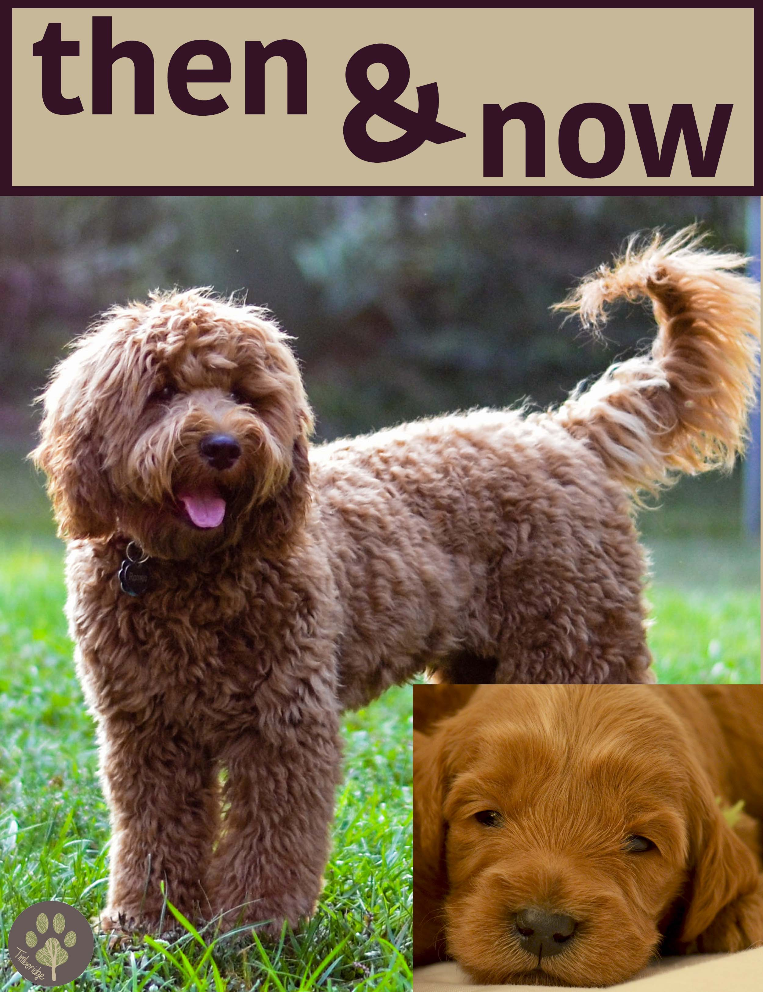Goldendoodle Puppy Time Lapse Timberidge Goldendoodles