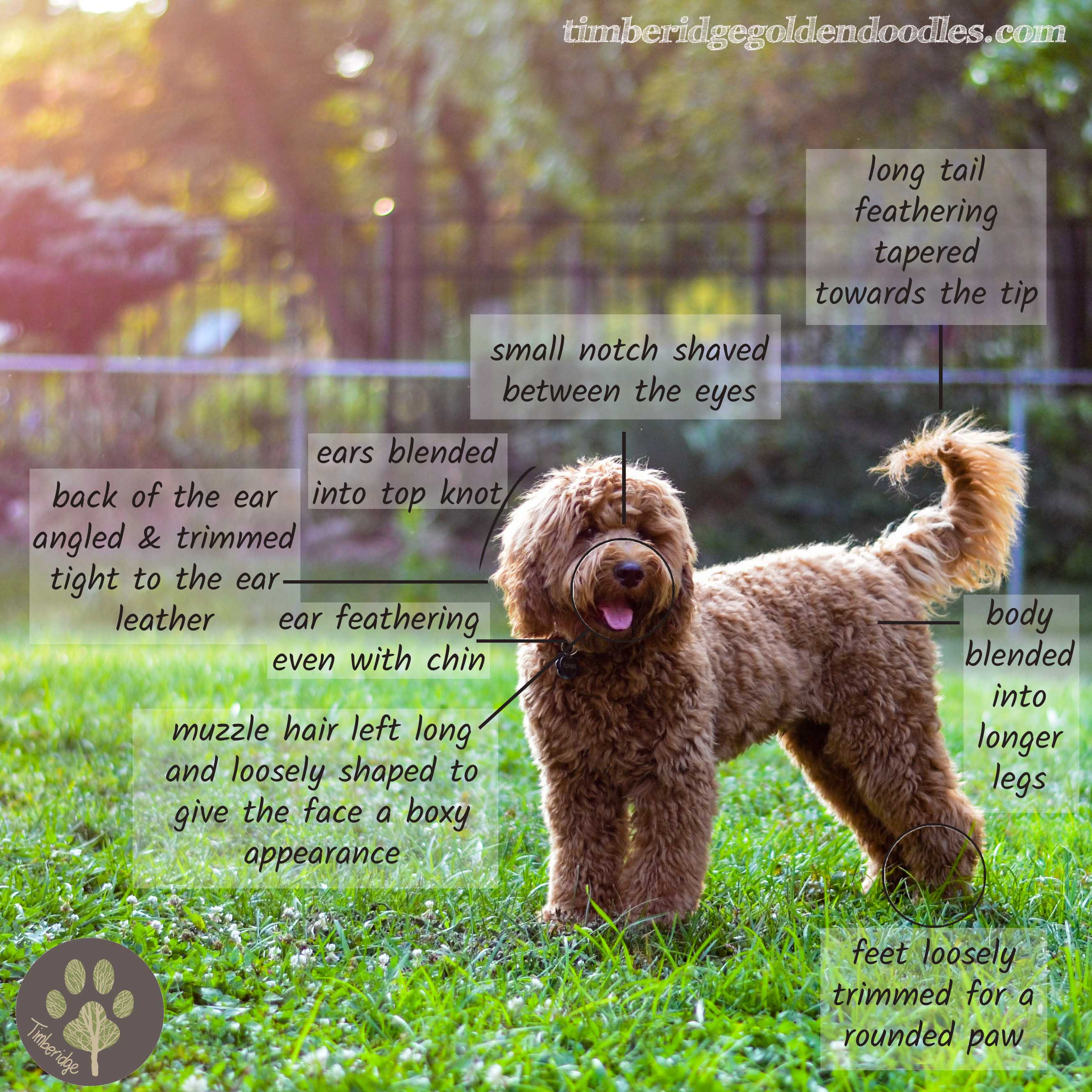 Goldendoodle Growth Curve Timberidge Goldendoodles