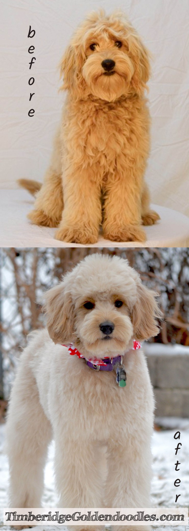 goldendoodle haircut before and after pictures goldendoodle grooming timberidge goldendoodles