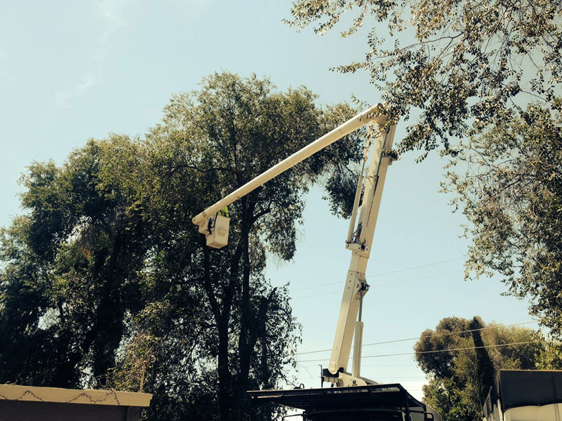 using a cherry picker to prune a large sycamore tree