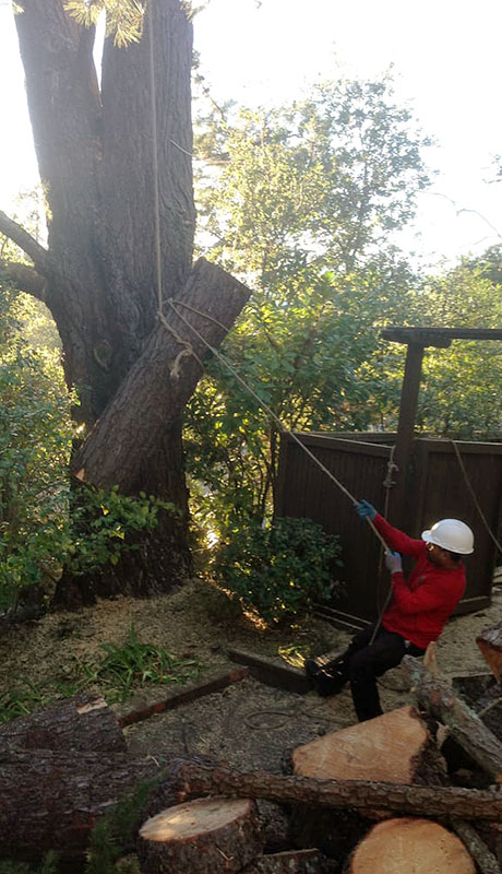 Removing a tree in Concord, California