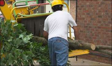 Removing and grinding a tree in Walnut Creek, California
