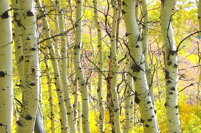 revived Aspen trees