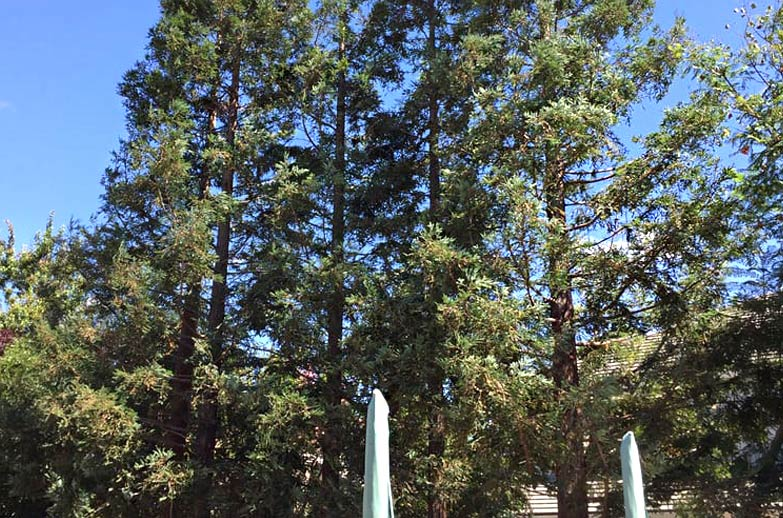 well maintained tall trees in front of the house