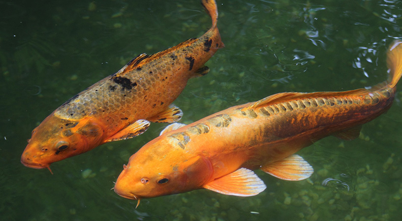 Common Koi Pond Issues & How to Solve Them