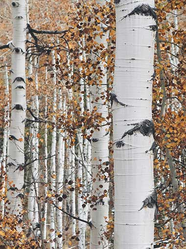 a healthy grove of aspens
