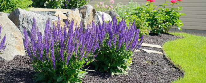 garden with mulch and lavender