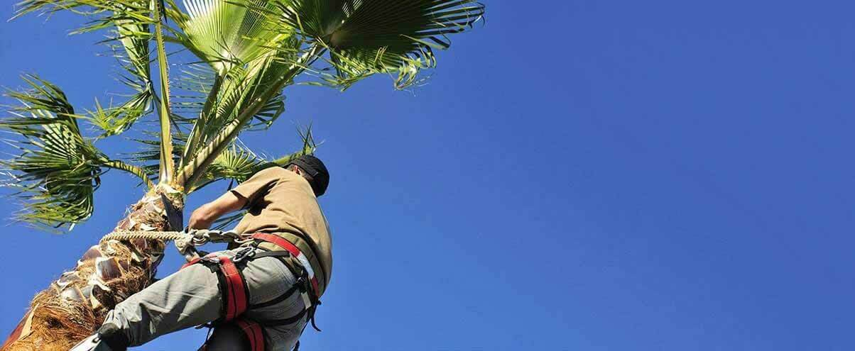 arborist climbs a palm tree for a trimming