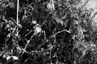 Devastation - Dead Tomato Plants