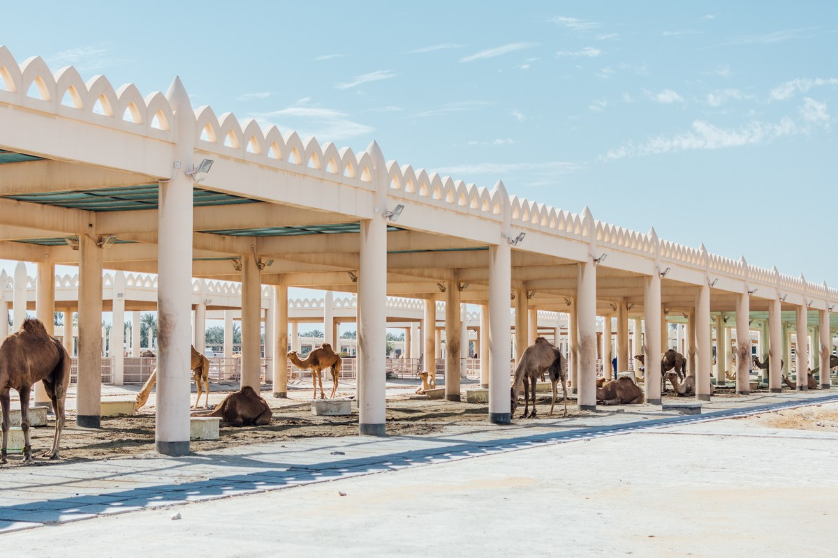 Here a camel, there a camel, everywhere a camel, at the camel farm