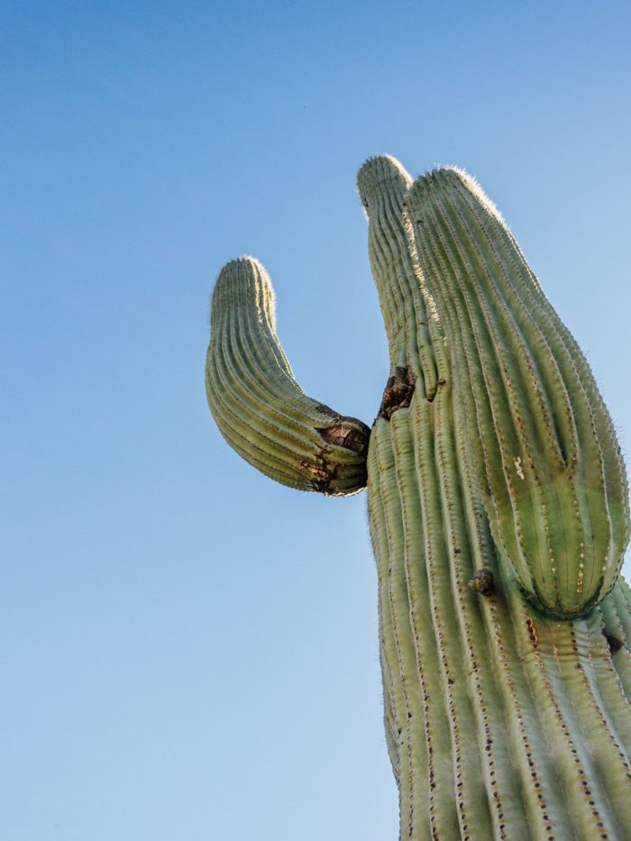 Photo of a saguaro cactus looking from the bottom up.