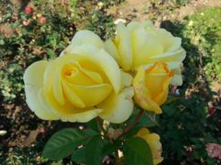 October-roses-04