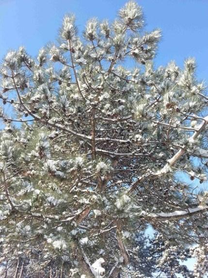 snow-on-trees-02