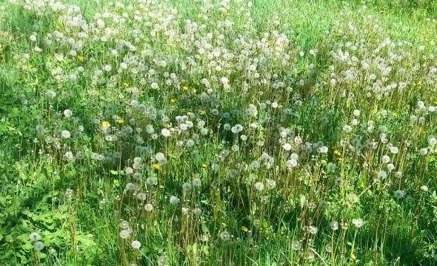 a-sea-of-dandelions-01